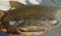 Quái ngư 4 mắt mắc câu ngư dân Australia