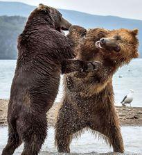 Màn 'đấu quyền anh' kịch tính của hai chú gấu khổng lồ
