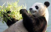 'Ngoại giao Gấu trúc' và quan hệ Trung – Mỹ