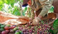 Xuất khẩu cà phê cả năm có thể đạt 3 tỷ USD