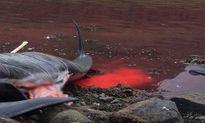 Máu nhuộm đỏ nước biển trong mùa săn cá voi ở Đan Mạch