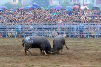 Lễ hội chọi trâu Đồ Sơn: Di sản văn hóa phi vật thể quốc gia