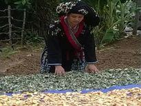 Bài thuốc gia truyền chữa vô sinh hiếm muộn, xương khớp của bà Triệu Thị Lĩu