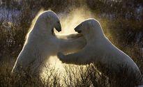Nhìn gần cuộc thủy chiến của gấu Bắc Cực