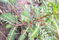 Lạm dụng loại cây này để chữa bệnh có thể gây xơ gan, teo gan, thậm chí vô sinh
