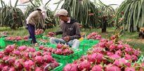 Trái thanh long Việt Nam nhiều cơ hội vào thị trường Úc
