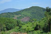 Quảng Nam: Phá rừng phòng hộ để trồng keo