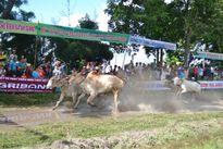 Đua bò huyện Tri Tôn 2016: Nguyễn Thành Tài vô địch 'kép'