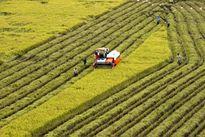 Liên kết sản xuất giống lúa mang thương hiệu Hậu Giang