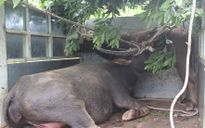 Quảng Trị: Truy bắt đàn trâu hoang dã tấn công người, 2 tháng chưa thành