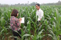 Hà Tĩnh: Bà con nông dân 'đổi đời' với những cánh đồng ngô sinh khối