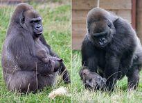 Xúc động cảnh khỉ đột khổng lồ chăm sóc con như người
