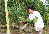 Trở thành tỷ phú trẻ nhờ trồng cam sành