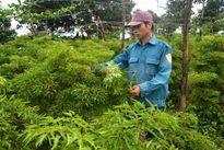 Gia Lai: Nông dân loay hoay tìm cách chuyển đổi canh nông