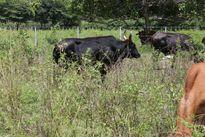 Bò tót xuất hiện ở khu vực rừng bảo tồn quốc gia Mã Đà