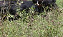 Chuyện báo thù của loài bò tót và nguy cơ tuyệt chủng