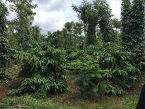 Tăng 100% thu nhập cho nông dân trồng cà phê từ Dự Án NESCAFÉ Plan