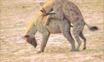 Linh cẩu trơ trẽn giao phối nồng nhiệt giữa ban ngày ban mặt