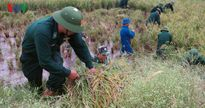 Bộ đội, lực lượng vũ trang giúp dân gặt lúa 'chạy' bão số 7