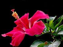 Đánh tan mọi đau buốt vì sỏi thận nhờ bài thuốc quý từ hoa dâm bụt