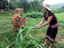 Phụ nữ vùng cao Phước Hòa vươn lên thoát nghèo