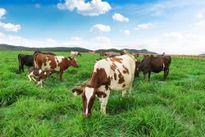 Trang trại bò sữa Organic theo tiêu chuẩn Châu Âu đầu tiên tại Việt Nam của Vinamilk
