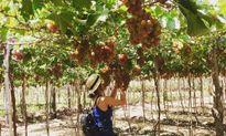 Những điểm du lịch thăm vườn cây ăn trái nổi tiếng trong nước