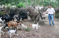 Tự tạo cơ hội: Sống nhàn nhờ nuôi dê lai