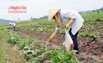 Nhiều cây trồng vụ đông chậm tiến độ sản xuất