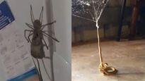 Chuột, rắn độc thê thảm vì thành mồi ngon của nhện
