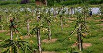 Người tiên phong trồng thanh long đỏ, lập trại bò trên đất Phong Quang