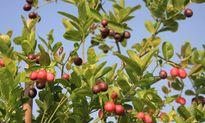 Vườn cây sai trĩu quả trên sân thượng của chị em