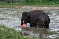 Clip: Voi con lao xuống sông cứu người 'chết đuối'