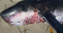 Phát hiện sinh vật biển bí ẩn trột dạt vào Australia