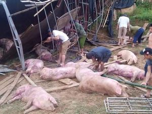 Lật ôtô tải, hàng chục con lợn bị đè chết