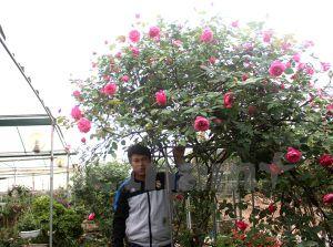 Chủ nhà vườn đam mê sưu tầm giống hồng giá bạc triệu