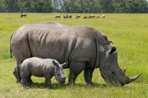 Số tê giác bị giết hại ở Nam Phi lần đầu tiên giảm kể từ năm 2008