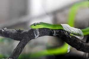 Rùng mình cảnh rắn lục châu Phi cực độc lột da