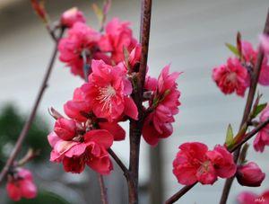 Cắm hoa gì rước tài lộc về nhà trong ngày Tết?
