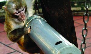 """Chuyện làm """"ô sin""""… cho khỉ giữa Thủ đô"""