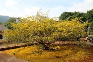 Cận cảnh cây mai 'khủng' được trả giá hàng tỷ đồng