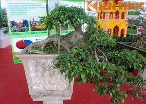 Ngắm siêu cây cảnh có thế dị thường nhất Việt Nam