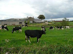 Những thiên đường cho bò sữa trên thế giới.