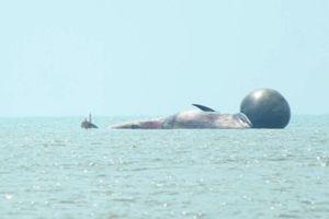 Cận cảnh thi thể cá voi chết ở Nghệ An