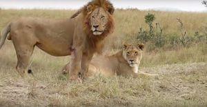 """Sư tử đực giết con bạn tình để nhanh được """"mây mưa"""""""
