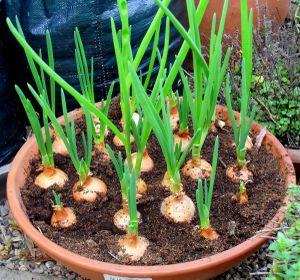 14 loại rau củ bạn thường xuyên ăn và có thể trồng bằng chậu lớn nhanh như thổi
