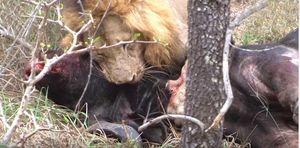 Tàn khốc cảnh sư tử đực xé xác trâu rừng
