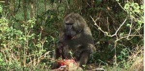 Linh dương bất lực nhìn khỉ đầu chó giết con trước mặt