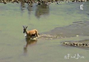 Ảnh động cá sấu săn giết linh dương ngoạn mục