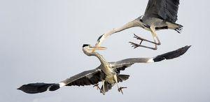 Chim diệc xám không chiến ngoạn mục